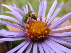 greensweat_bee_on_aster