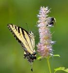 swallowtail on hyssop
